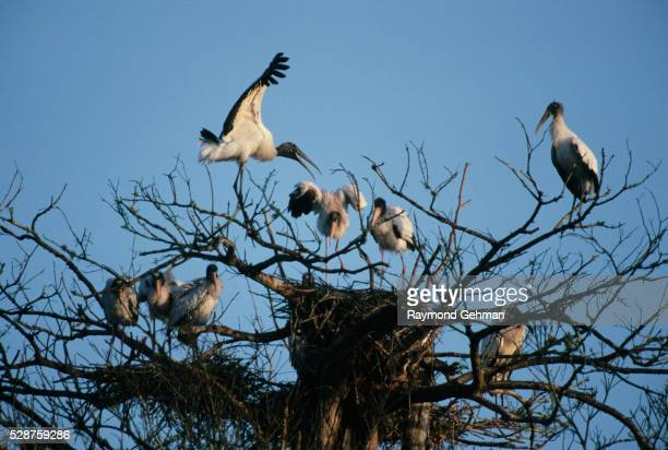 nesting wood storks with young - bald cypress tree stock pictures, royalty-free photos & images