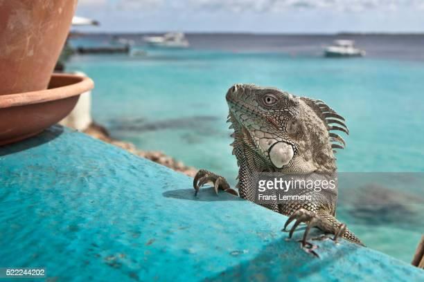 Netherlands, Bonaire Island, Dutch Caribbean, Kralendijk, Green Iguana
