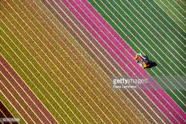 netherlands, burgervlotbrug, tulip fields - image stockfoto's en -beelden