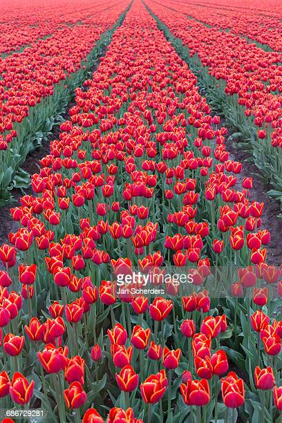 Netherlands, Field of red tulips