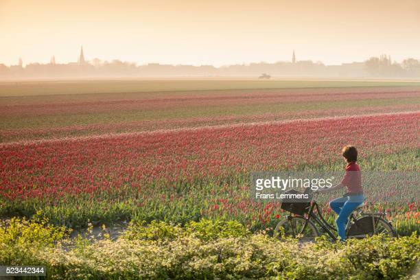 netherlands, hillegom, tulip field in morning mist. woman cycles - landelijke scène stockfoto's en -beelden
