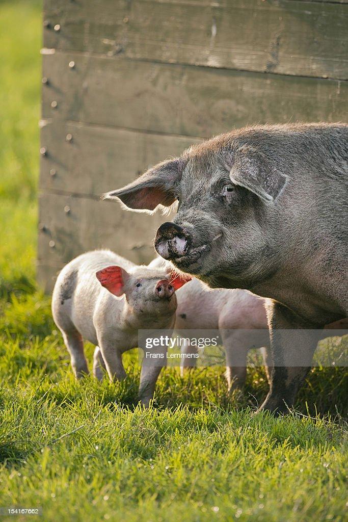 Netherlands, Kortenhoef, Piglets and sow : Stock Photo