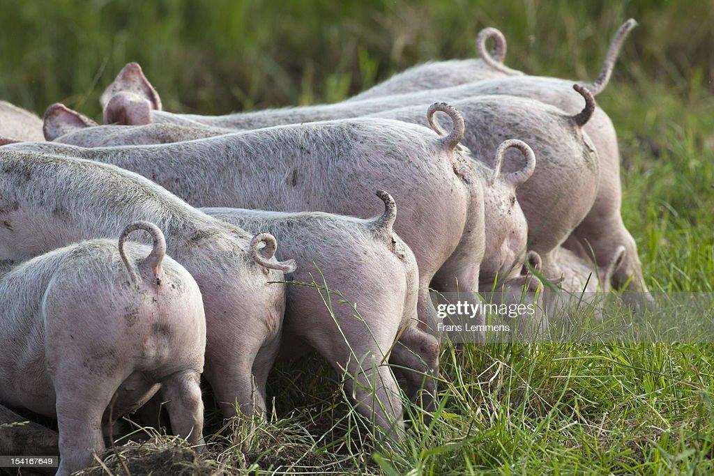 Netherlands, Kortenhoef, Piglets : Stock Photo