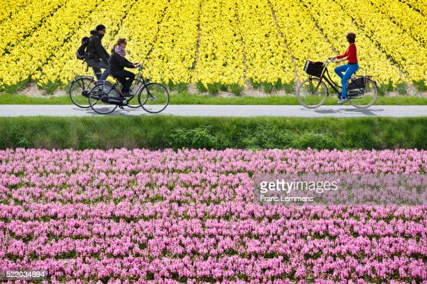 Netherlands, Lisse, Cycling between Narcissus And Hyacinth Field