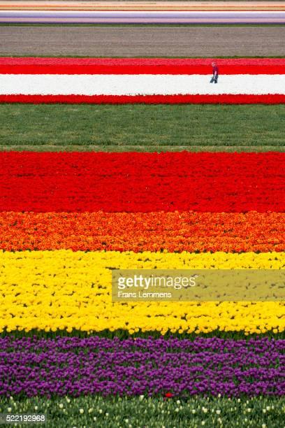 netherlands, lisse, fields of tulips, farmer at work, aerial - jardins de keukenhof photos et images de collection