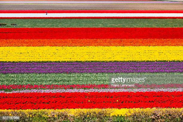 netherlands, lisse, fields of tulips, farmer at work, aerial - keukenhof gardens stock pictures, royalty-free photos & images