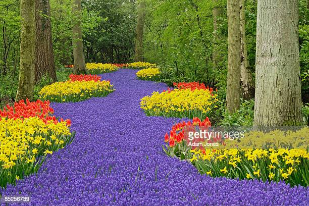 netherlands - grape hyacinth stock pictures, royalty-free photos & images