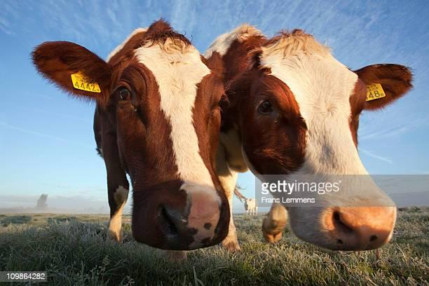 Netherlands, portrait of 2 cows