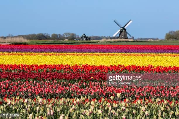 netherlands, sint maartensbrug, flowering tulip fields. turning windmill - オランダ ストックフォトと画像