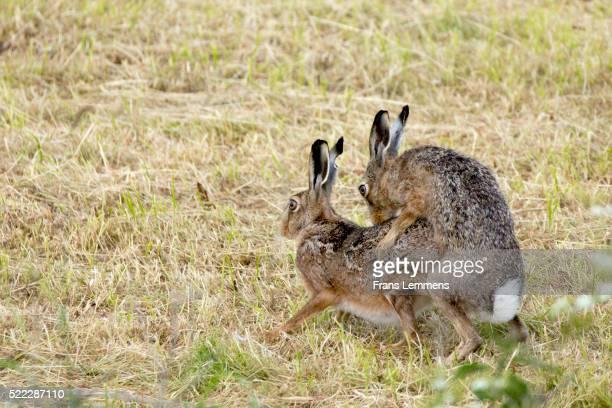 netherlands, terwolde, couple of hares mate - tierpaarung stock-fotos und bilder