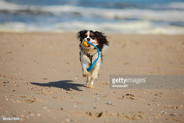netherlands, texel, cavalier king charles spaniel retrieving dog toy on the beach - cavalier king charles spaniel stock pictures, royalty-free photos & images