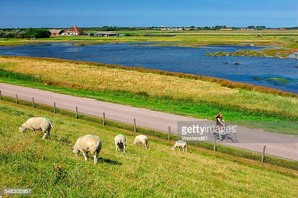 netherlands, texel island, den burg, sheep grazing on dyke - noord holland stockfoto's en -beelden