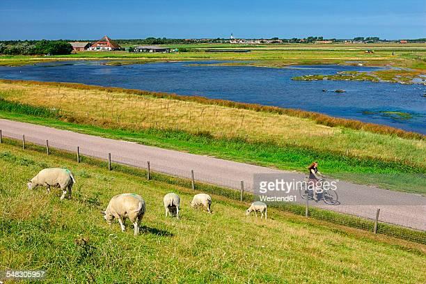 netherlands, texel island, den burg, sheep grazing on dyke - friesland noord holland stockfoto's en -beelden