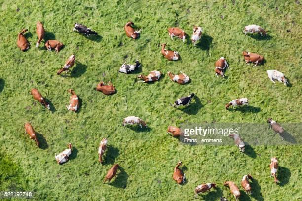 netherlands, westbroek, cows in meadow ruminate. aerial - image stockfoto's en -beelden