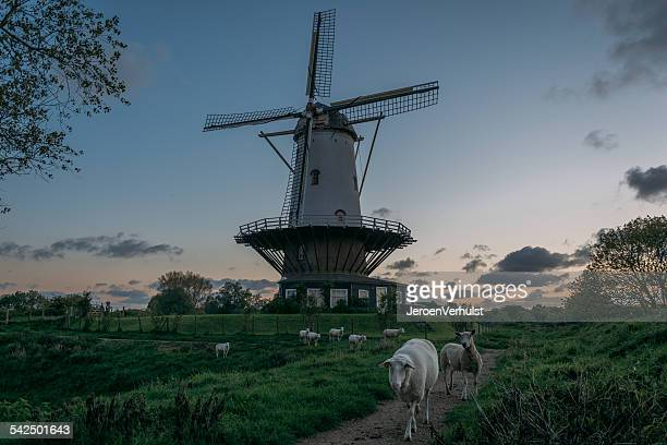 Netherlands, Zeeland, Veere, Windmill and grazing sheep at dusk