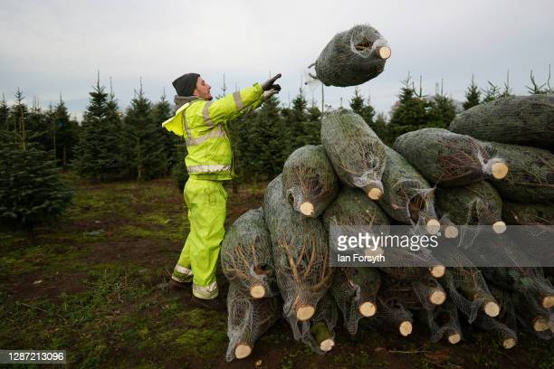 Netted Christmas trees are stacked before being loaded onto pallets for distribution on November 23, 2020 in York, England. York Christmas Trees have...