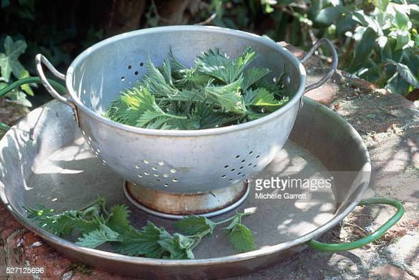 nettle leaves in a colander - イラクサ ストックフォトと画像