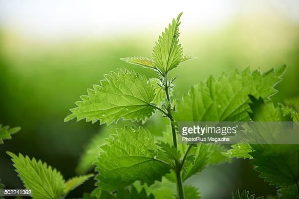 Nettle leaves in a woodland in Dorset taken on May 19 2015