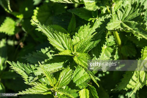 nettle - nettle stock pictures, royalty-free photos & images