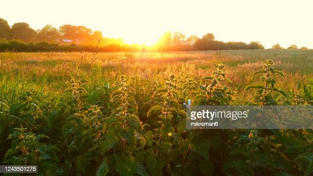 nettle plant against the light in the sunset light. sunset on meadow - イラクサ ストックフォトと画像