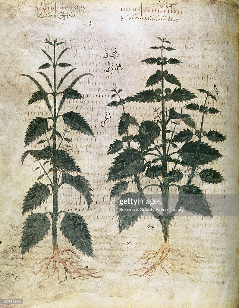 Nettles, 6th century. : News Photo