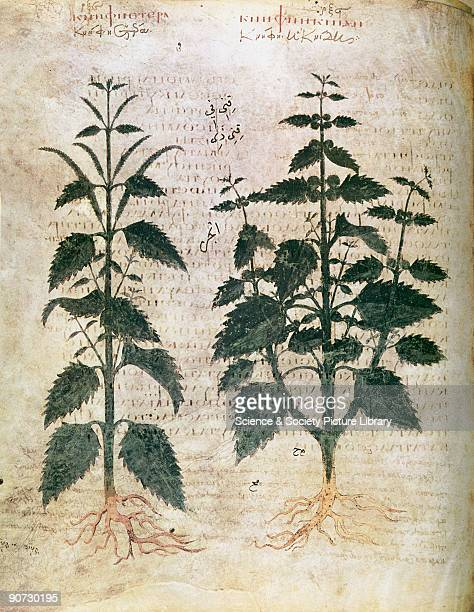 Nettles. An illustration from Dioscorides Codex Vindobonensis Medicus Graecus, which was probably published in Constantinople in the 6th century....