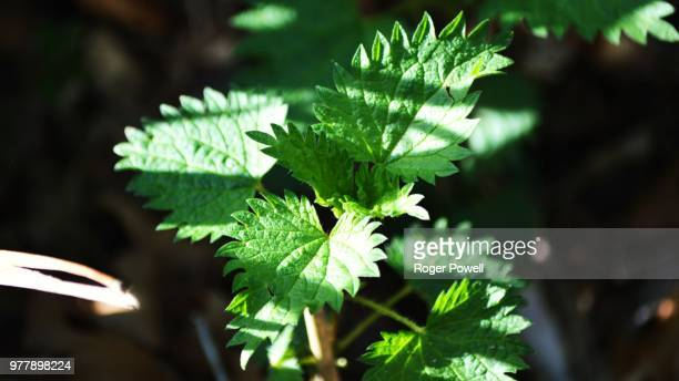 nettles catch sunlight - catmint stock pictures, royalty-free photos & images