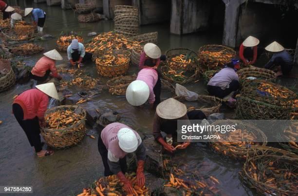 Nettoyage de la récolte des carottes au Viêt Nam