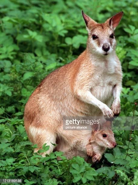 """Neugierig schaut ein kleines Känguru aus dem Beutel von Mama. Die Beuteltiere sind ein """"Markenzeichen"""" von Australien - Schätzungen zufolge leben..."""