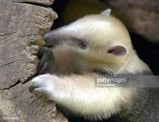 Neugierig schaut ein sechs Wochen alter Ameisenbär am 9.8.2000 aus einem hohlen Baumstamm im Regenwaldhaus des Krefelder Zoos. Der kleine Tamandua...