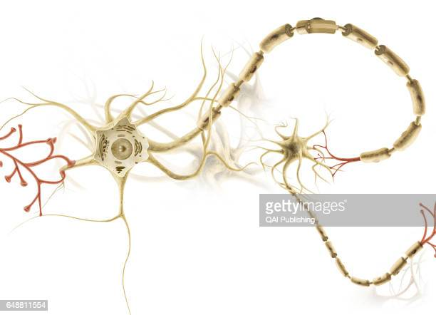 Neuron Cell of the nervous system allowing information to be carried in the form of electrical and chemical signals