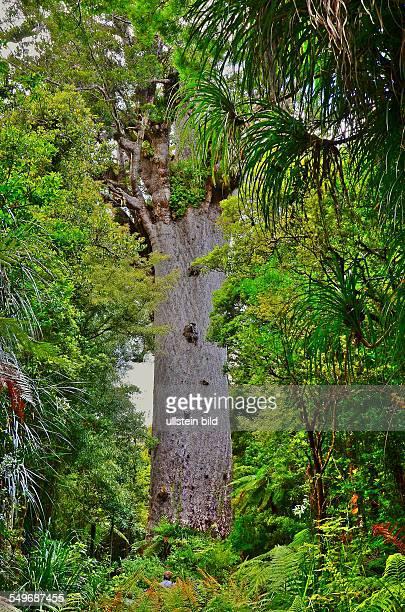 Neuseeland der Kauribaum 'Tane Mahuta' ist mit einem Stammumfang von 1377 m einem Volumen von 2445 Kubikmetern und einer Hoehe von 515 m der groesste...