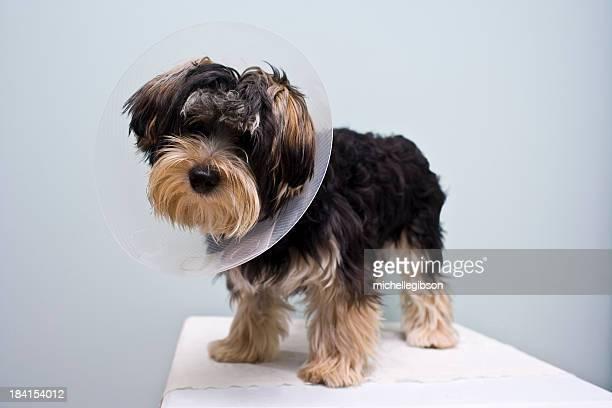 Neutered cachorro