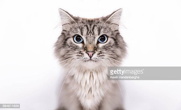 neva masquerade - felino salvaje fotografías e imágenes de stock