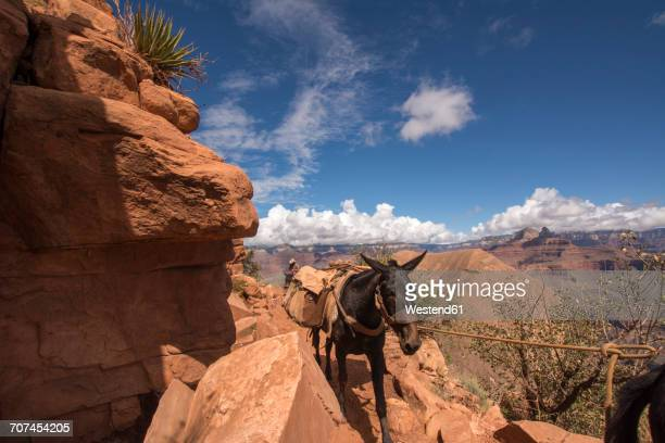 USA, Nevada, Grand Canyon National Park, mules transporting