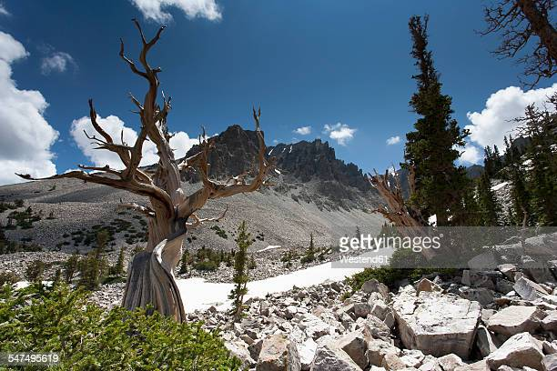usa, nevada, great basin national park, bristlecone pine - great basin stock pictures, royalty-free photos & images