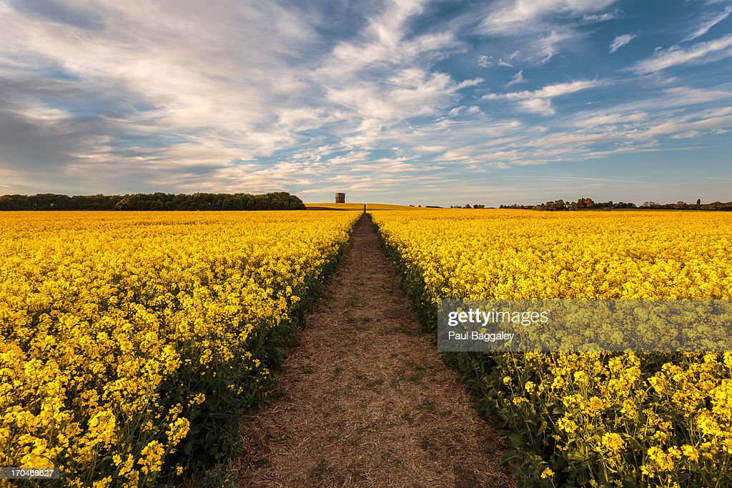 Never ending fields of gold : Stock Photo