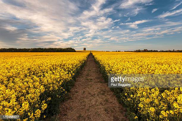 never ending fields of gold - bedfordshire stock photos and pictures
