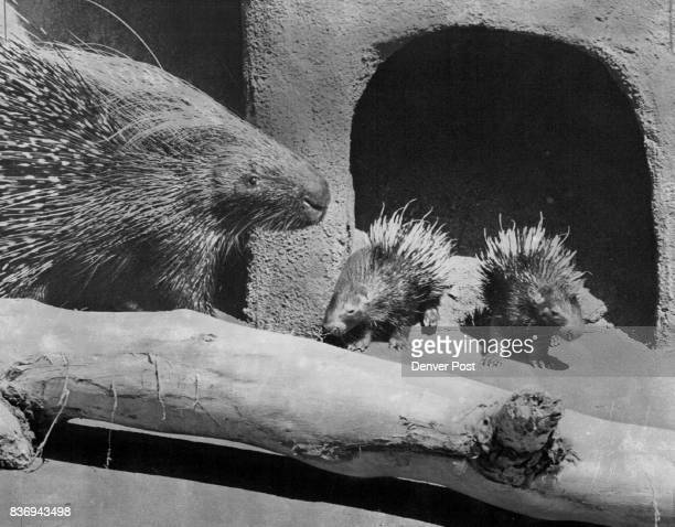 New African Crestep Porcupine Twins The prickly progeny are carefully watched over by their mother Tess Credit Denver Post
