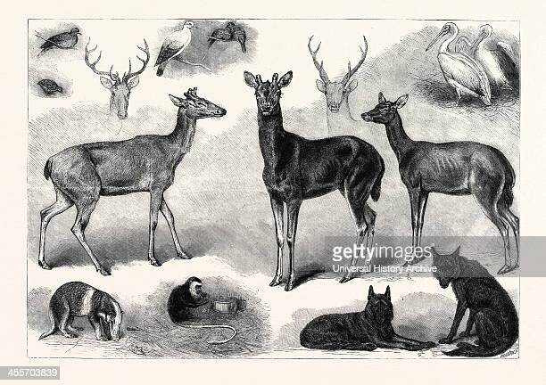 New Animals And Birds In The Zoological Society's Gardens, Regent's Park, London, Uk, 1867.