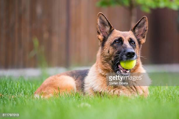new balls please - cão pastor alemão - fotografias e filmes do acervo