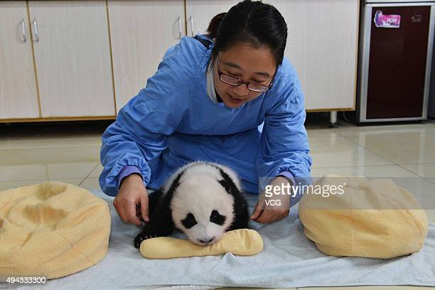 A new born baby giant panda appears at China Conservation and Research Center for the Giant Panda on October 24 2015 in Ngawa Tibetan and Qiang...