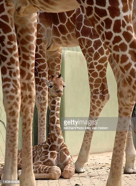 New born baby giraffe in shelter