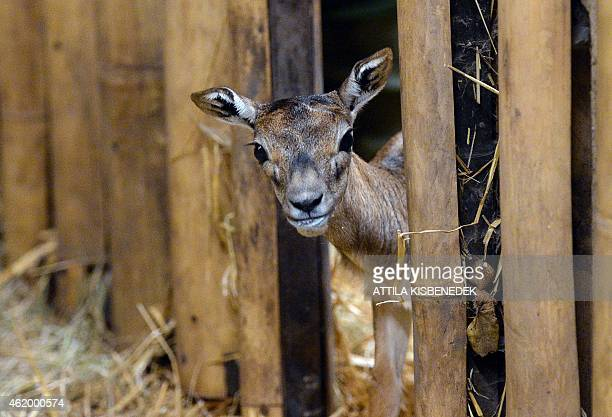 A new born Blackbuck antelope is seen at its enclosure at the Budapest Zoo and Botanic Garden of the Hungarian capital on January 23 2015 The young...