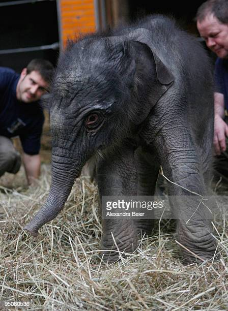 New born elephant Jamuna Toni is seen at Hellabrunn zoo on December 23 2009 in Munich Germany The female baby elephant was born on December 21 2009...