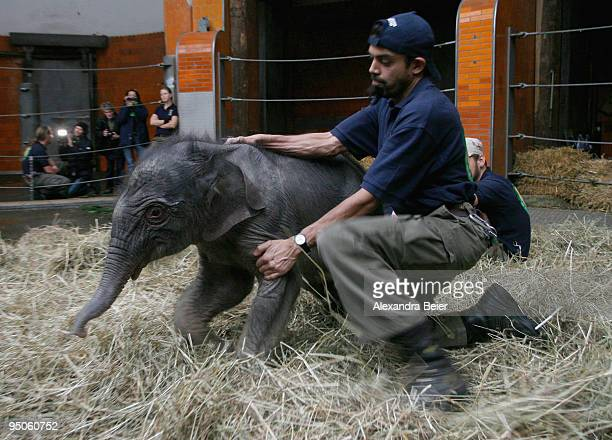 New born elephant Jamuna Toni is stopped by one of her keepers at Hellabrunn zoo on December 23 2009 in Munich Germany The female baby elephant was...