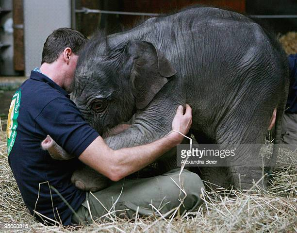 New born elephant Jamuna Toni plays with one of his keepers at Hellabrunn zoo on December 23 2009 in Munich Germany The female baby elephant was born...