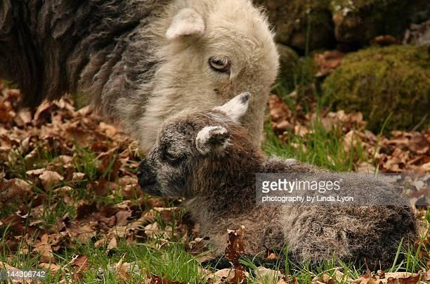 New born Herdwick Lamb