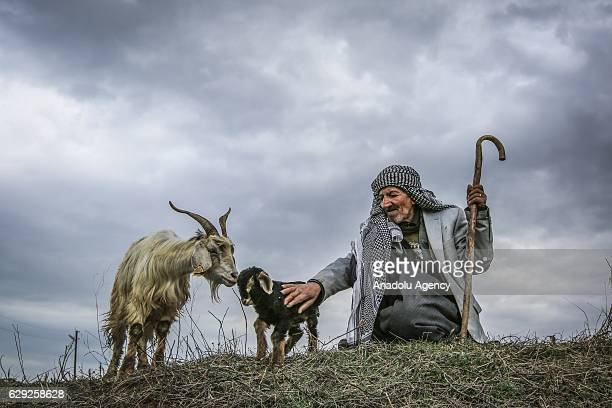 New born kid goat enjoys the spring as its' shepherd looks on in Gevas district of Van on April 11 2016 Baby goats are usually born in early spring...