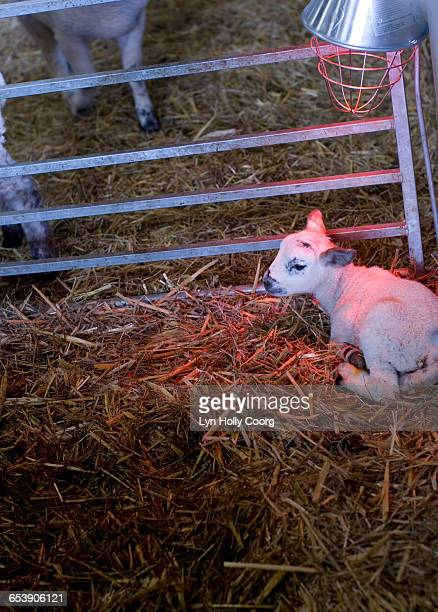 new born lamb on straw with infra red lamp - lyn holly coorg stock pictures, royalty-free photos & images